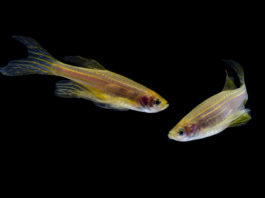 Zebrafish can be key in improving opioid addiction treatment