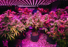 DEA Plans to Quintuple Amount of Cannabis Grown for Research